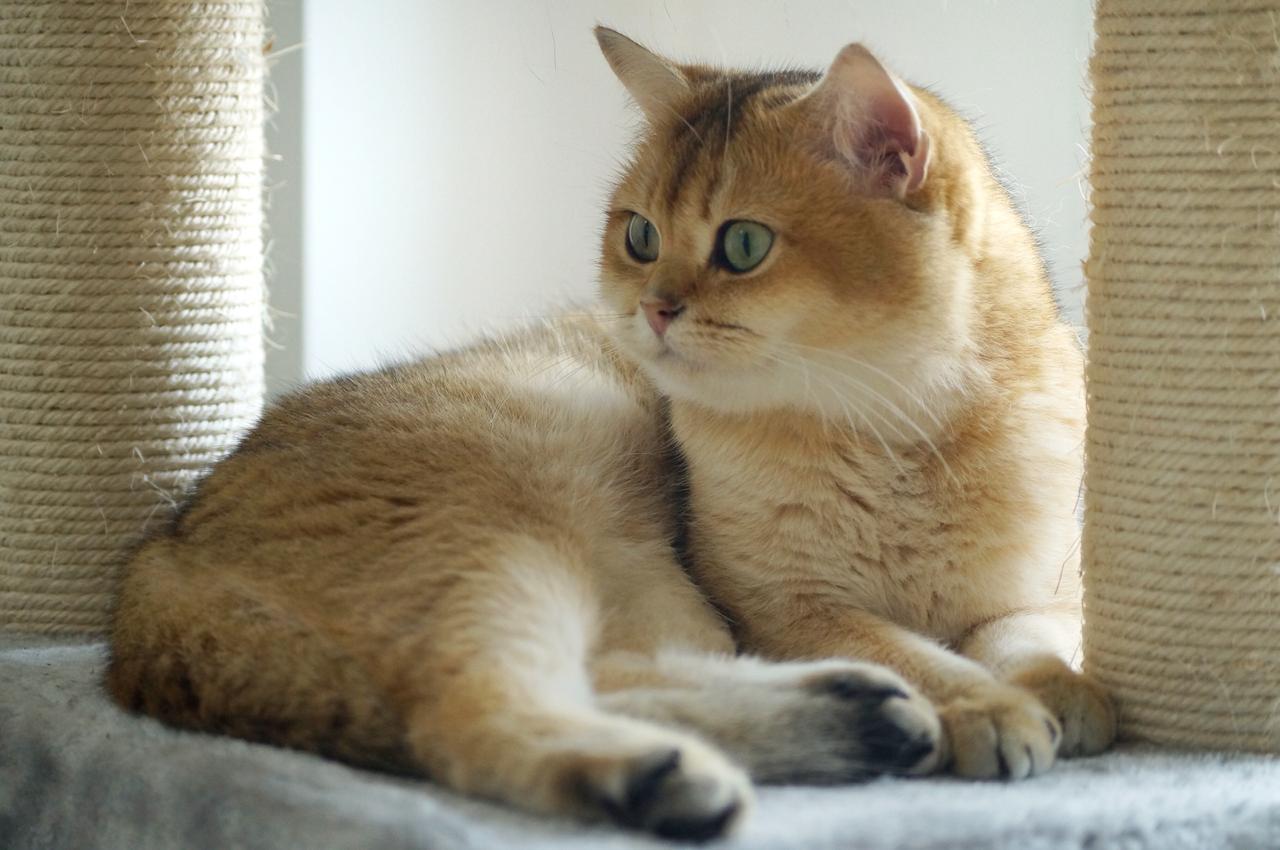 Golden British Shorthair Ny11 81021 Nama Untuk Kucing Comel Lucu Dan Unik